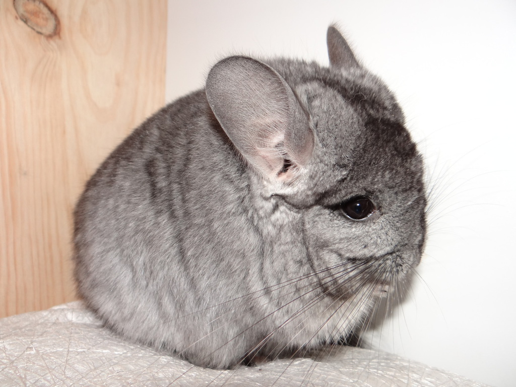 Chinchilla dating