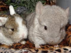 élevage minilop et chinchilla a vendre 77 ile de france